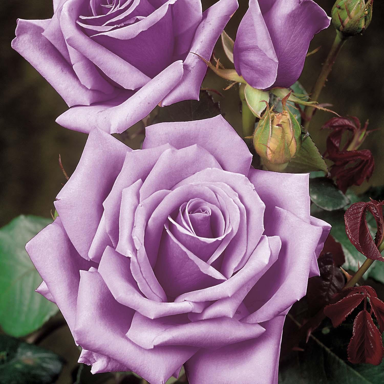 Плетистая роза dolche vita