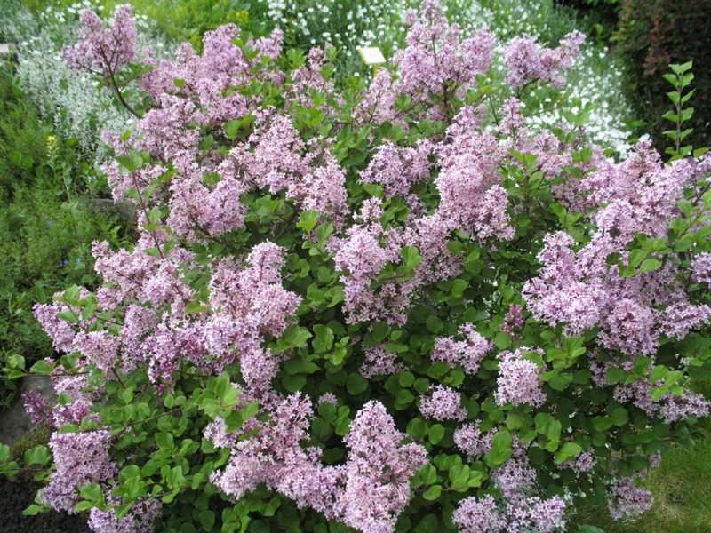 bloomerang flieder dark purple