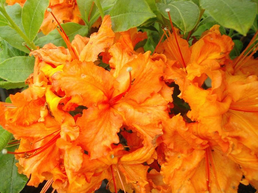 Azalea Knaphill Oranje Azalea