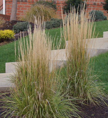 Calamagrostis acutiflora 39 karl foerster 39 struisriet for Ornamental grass in containers for privacy