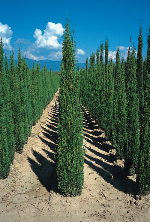 cupressus sempervirens 39 stricta 39 39 fastigiata cupressus. Black Bedroom Furniture Sets. Home Design Ideas