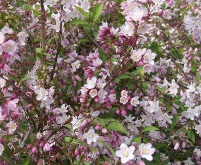 deutzia purpurascens 39 kalmiiflora 39 bruidsbloem. Black Bedroom Furniture Sets. Home Design Ideas
