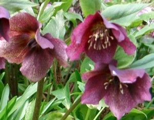 helleborus orientalis 39 red hybrids 39 nieskruid. Black Bedroom Furniture Sets. Home Design Ideas