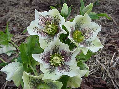 helleborus orientalis 39 spotted hybrids 39 nieskruid. Black Bedroom Furniture Sets. Home Design Ideas