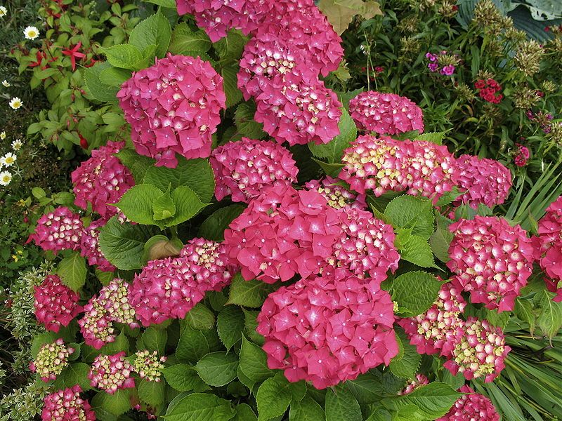 hydrangea macrophylla 39 rotkehlchen 39 hortensia. Black Bedroom Furniture Sets. Home Design Ideas