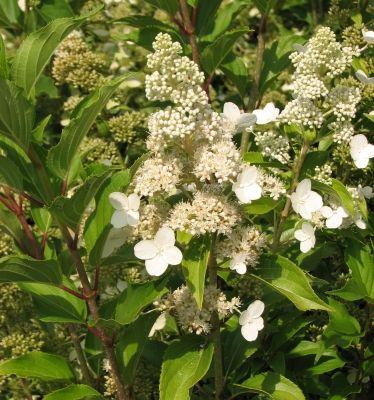 hydrangea paniculata 39 kyushu 39 hortensia. Black Bedroom Furniture Sets. Home Design Ideas