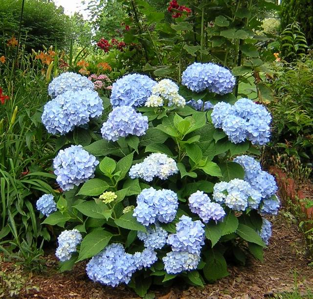 hydrangea macrophylla endless summer hortensia. Black Bedroom Furniture Sets. Home Design Ideas