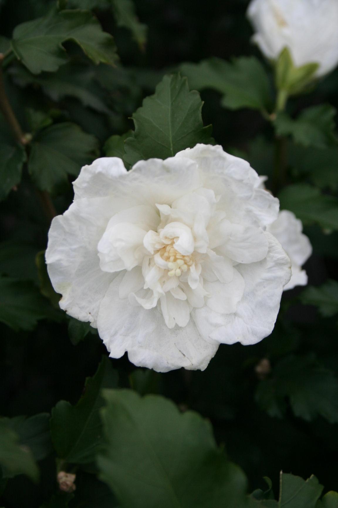 Hibiscus Syriacus White Chiffon Notwoodtwo Altheastruik