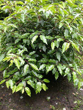 prunus lusitanica 39 angustifolia 39 39 myrtifolia. Black Bedroom Furniture Sets. Home Design Ideas