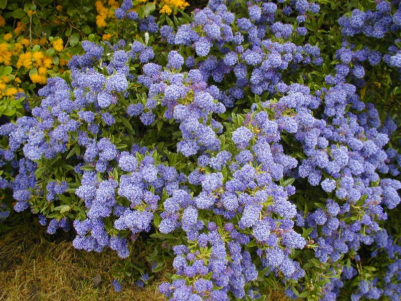 ceanothus 39 blue mound 39 amerikaanse sering. Black Bedroom Furniture Sets. Home Design Ideas