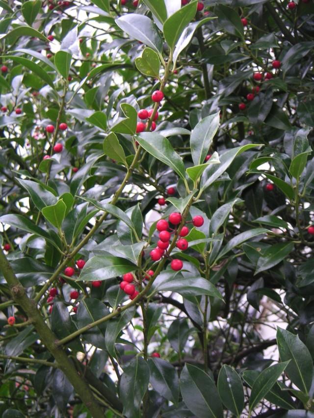 Ilex Aquifolium Pyramidalis Hulst