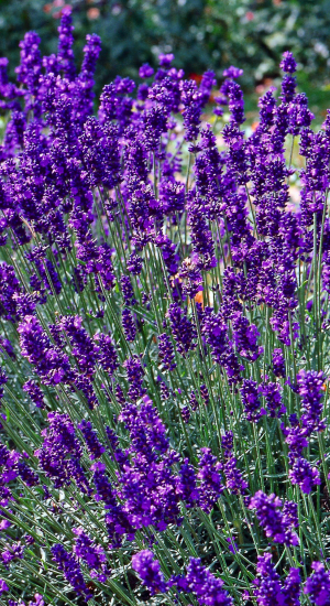 lavandula angustifolia 39 dwarf blue 39 lavendel. Black Bedroom Furniture Sets. Home Design Ideas