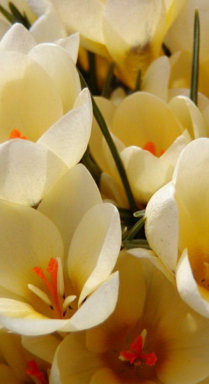 10 STUKS CROCUS CREAM BEAUTY