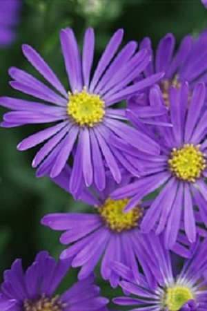 ASTER 'SONORA'