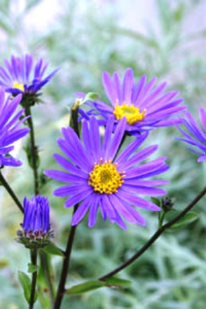 ASTER 'BLUE KING'