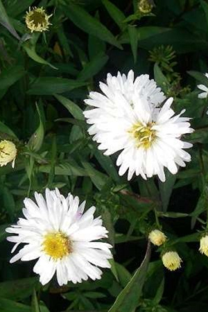 ASTER NOVI BELGII 'WHITE LADIES'