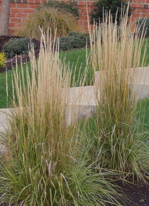 calamagrostis acutiflora 39 karl foerster 39 struisriet. Black Bedroom Furniture Sets. Home Design Ideas