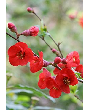 CHAENOMELES SUPERBA 'FIRE DANCE'