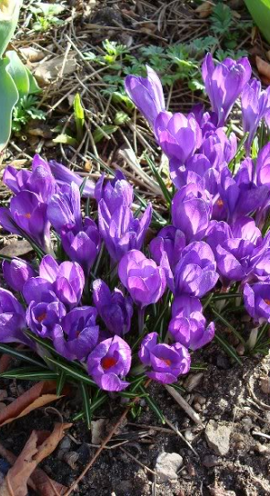 10 STUKS CROCUS WHITEWELL PURPLE