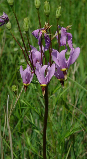DODECATHEON MEADIA*
