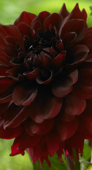 1 x Dahlia 'Arabian night'