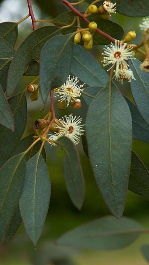 Eucalyptus gunnii cidergomboom - Eucalyptus gunnii en pot ...