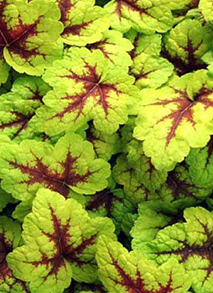 HEUCHERELLA 'STOPLIGHT'*
