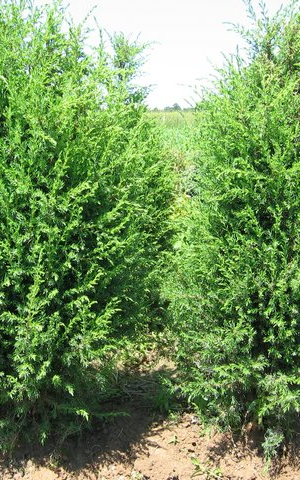 juniperus communis 39 hibernica 39 jeneverbes. Black Bedroom Furniture Sets. Home Design Ideas