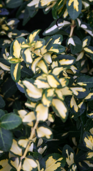 EUONYMUS FORTUNEI BLONDY ('INTERBOLWI')