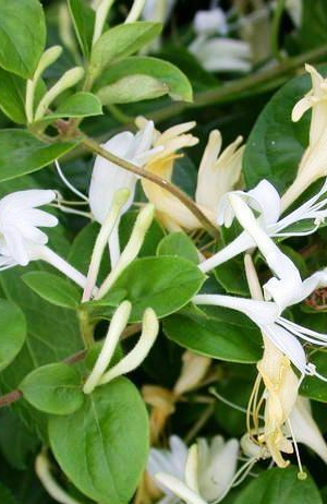 LONICERA JAP. 'HALL'S PROLIFIC'