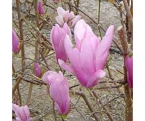 magnolia 39 george henry kern 39 beverboom. Black Bedroom Furniture Sets. Home Design Ideas