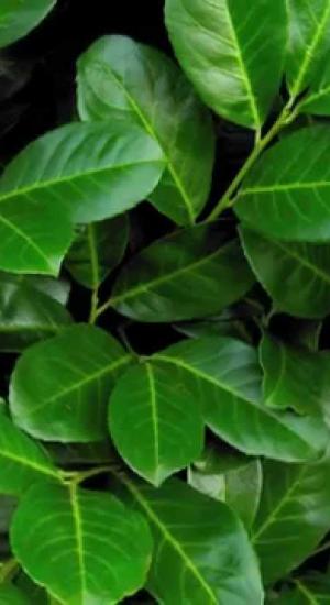 prunus laurocerasus 39 rotundifolia 39 laurierkers paplaurier. Black Bedroom Furniture Sets. Home Design Ideas