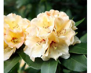 RHODO 'HORIZON MONARCH'