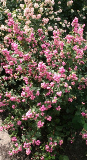 SYMPHORICARPOS 'MAGICAL SWEET'