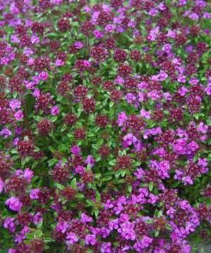 THYMUS PRAECOX 'CREEPING RED'*