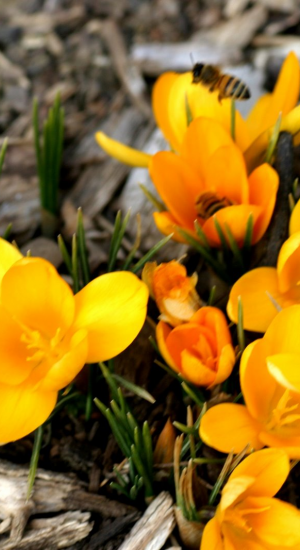 10 STUKS CROCUS GOLDEN BUNCH