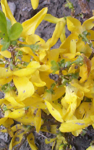 FORSYTHIA INTERMEDIA WEEK-END ('COURTALYN')
