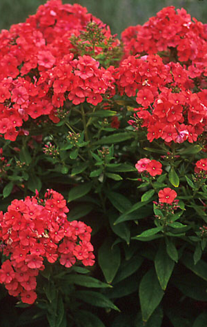 PHLOX PAN. 'ORANGE PERFECTION'