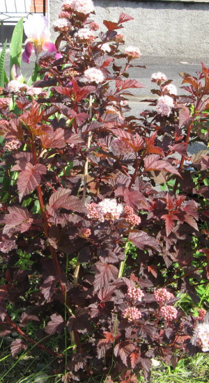 PHYSOCARPUS OPULIFOLIUS 'RED BARON'