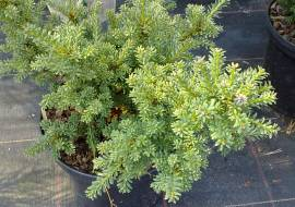 PODOCARPUS LAWRENCII 'RED TIP'