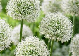 50 STUKS ALLIUM MOUNT EVEREST