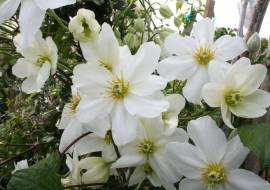 CLEMATIS (CARTMANII) 'JOE'