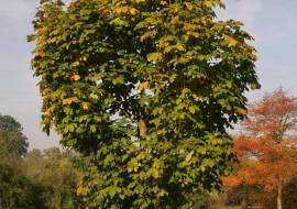ACER PLATANOIDES 'CLEVELAND'