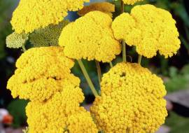 ACHILLEA FILIP. 'CLOTH OF GOLD'