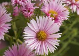 ASTER NOVA ANGLIAE 'HARRINGTON'S PINK'