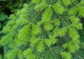 ABIES VEITCHII