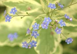 BRUNNERA MACROPHYLLA 'YELLOW SPRING'*