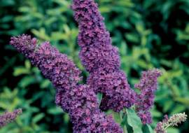 BUDDLEJA DAVIDII PURPLE EMPEROR ('PYRKEEP')