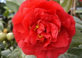 CAMELLIA JAPONICA ROOD