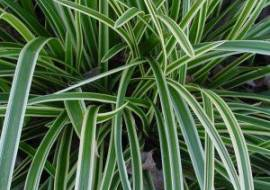 CAREX FOLIOSISSIMA 'ICE DANCE'